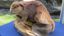 Justin Beaver, a full-sized, stuffed beaver, used by naturalists during educational programs in parks across the Fraser Valley Regional District, east of Vancouver, is shown in a handout photo. (Fraser Valley Regional District)