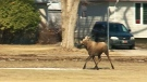 Loose moose chased through city