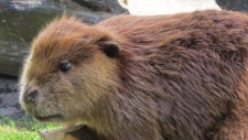 'Justin Beaver' vanishes from Fraser Valley park