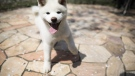 An Akita puppy plays at a dog breeding centre in Takasaki, Gunma prefecture. (Behrouz MEHRI / AFP)