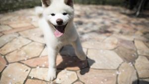 An Akita puppy plays at a dog breeding centre in Takasaki, Gunma prefecture. (Behrouz MEHRI / AFP)