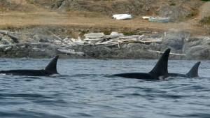 Orcas swim near Victoria, B.C. Saturday, August 14, 2004. (THE CANADIAN PRESS/Jonathan Hayward)