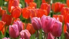 The owner of the Bloom Abbotsford Tulip Festival says a cold spring delayed the colourful flowers.