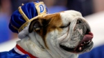 Bow-Z, owned by John Hill, of Pella, Iowa, sits on the throne after being crowned the winner of the 39th annual Drake Relays Beautiful Bulldog Contest, Sunday, April 22, 2018, in Des Moines, Iowa. (AP Photo/Charlie Neibergall)