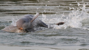 This July, 2016, photo provided by World Wildlife Fund, shows dolphins in the Mekong river near Kratie province in the northeastern of Phnom Penh, Cambodia. (World Wildlife Fund)