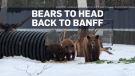 Trio of rescued black bear cubs to head home