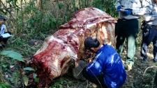 A skinned elephant in Myanmar