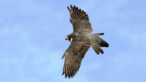 Peregrine Falcons have again returned to Winnipeg air space. Photo by Dennis Swayze.