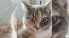 Rosie, a one-year-old muted tortoise shell cat, is seen in this photo provided by the BC SPCA.