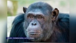 Two Dalhousie University professors are lending their support to a legal fight in New York backing two chimpanzees being held in captivity.