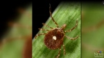 Aggressive tick can be found in Manitoba