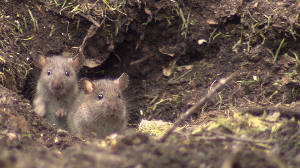 rodent control in victoria