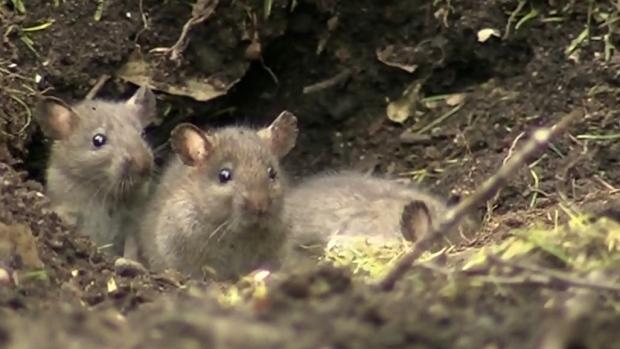 Victoria's rat problem lands it a dubious honour
