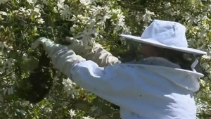 Escaped bee colony swarms tree in Crofton