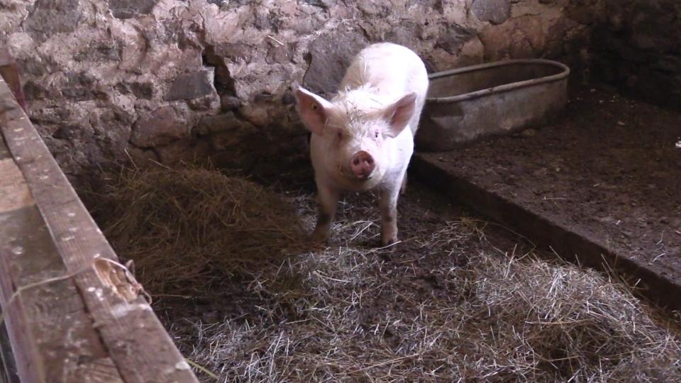Pig rescued in Innisfil