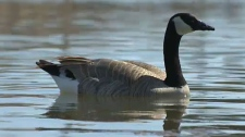 City officials have taken steps to prevent Canada geese from nesting near the municipal building downtown.
