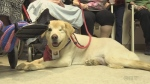 Dog in Pet Therapy Program at Sudbury's hospital