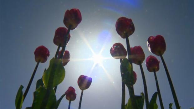 tulips vancouver island generic flowers victoria