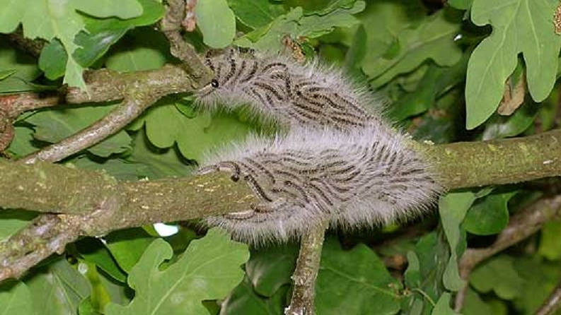 Caterpillars of the oak processionary moth are shown in this image from the British Forestry Commission website.