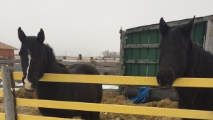 horses sold for slaughter