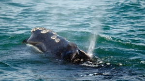 FILE - In this March 28, 2018, file photo, a North Atlantic right whale feeds on the surface of Cape Cod bay off the coast of Plymouth, Mass. (AP Photo/Michael Dwyer, File)