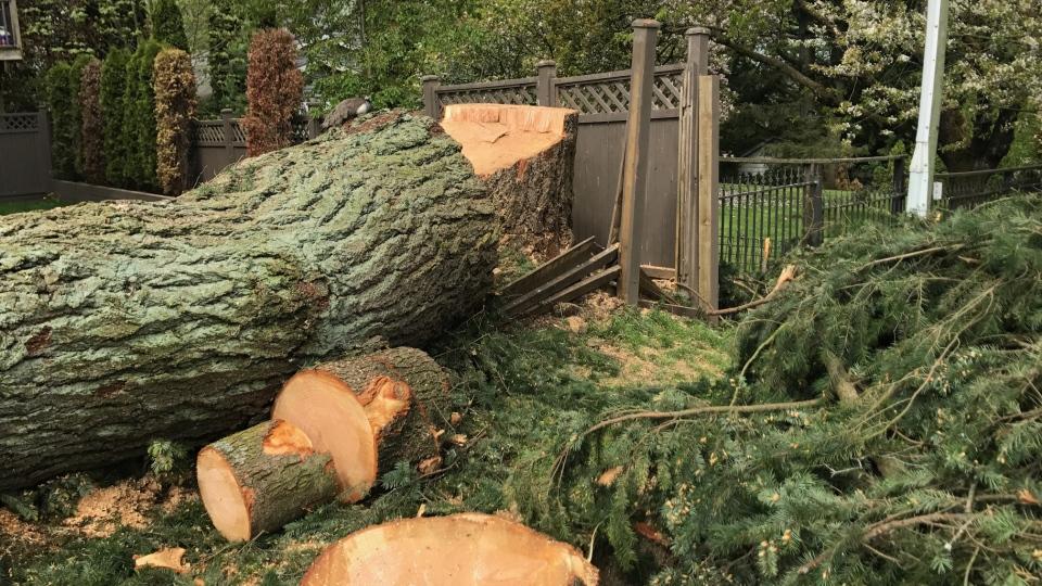 Surrey peacock tree cut down