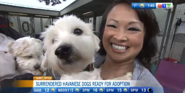 Havanese dogs up for adoption | CTV News