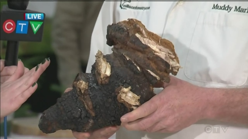 Chaga mushrooms are often found on birch trees