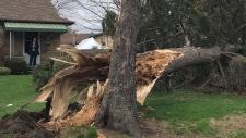 Mill Street tree down