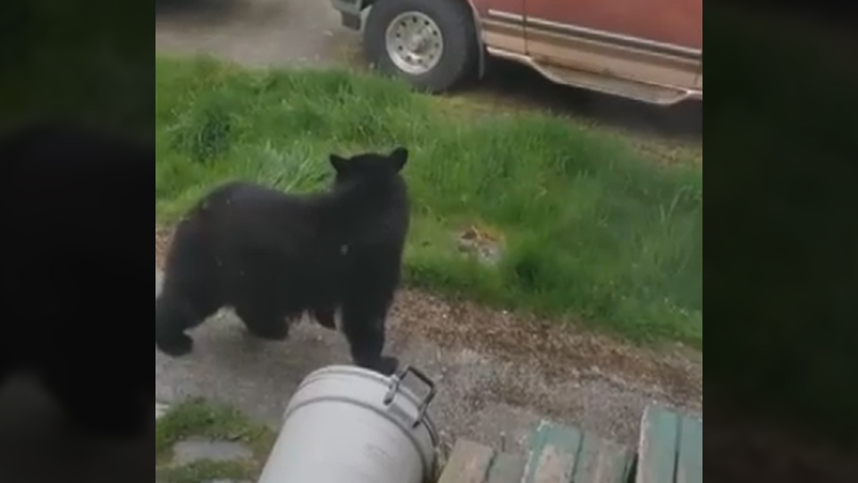 Sooke resident Jordan Cote has filmed another up-close encounter with a bear on his rural property, but he's using this one as a teachable moment. May 4, 2018. (Jordan Cote/Storyful)