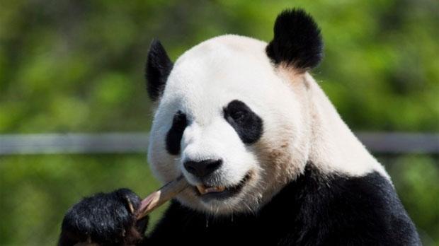Meet the pandas!