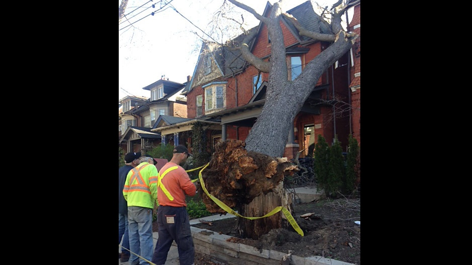 City crews start to dismantle a tree that fell during a wind storm in Toronto's The Annex neighbourhood. (Cam Woolley/CP24)