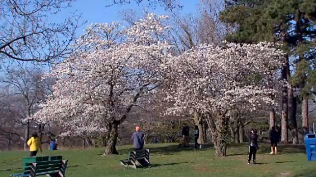 peak bloom period for high park cherry blossoms ctv news. Black Bedroom Furniture Sets. Home Design Ideas