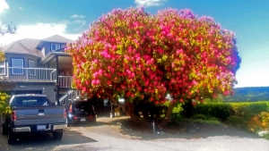 The rhododendron in Ladysmith, B.C. is more than double the average size. (Rob Johnson)