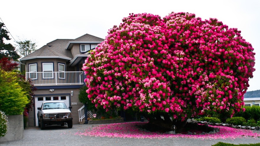 This image shows the Lady Cynthia in full bloom in May 2017. (Ladysmith Chamber of Commerce)