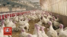 F2F: Engel Turkey Farms