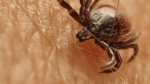 Brownlegged tick (file photo)