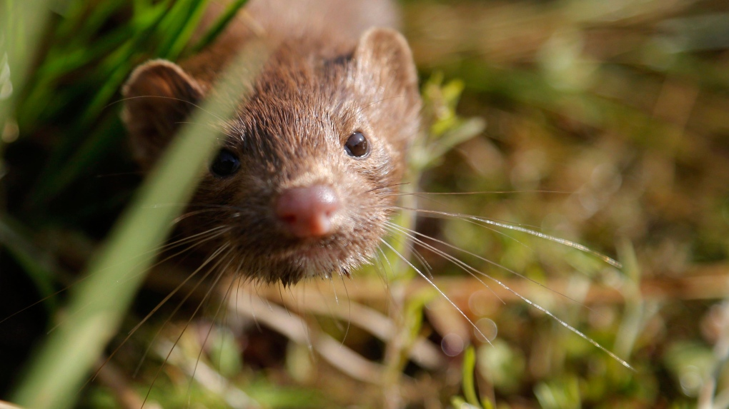 Vaccine works against COVID mink mutation in early testing