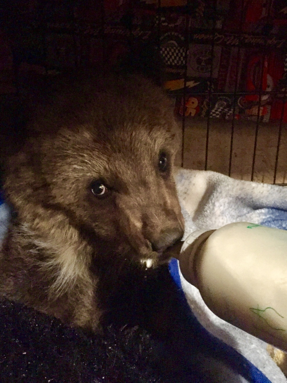 Two women rescued a grizzly bear cub near Grande Cache this week after watching it for five days to see if its mother would return for it. (THE CANADIAN PRESS/HO, Kyla Woollard)