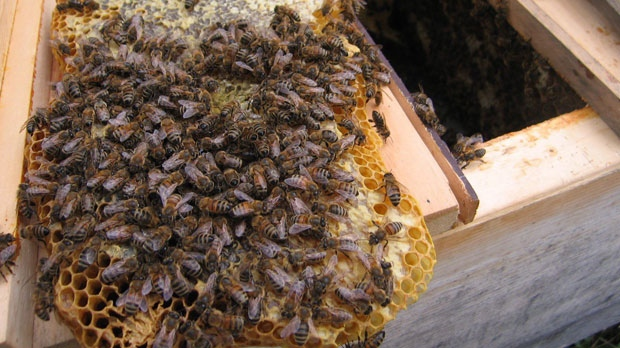 Bees on a honeycomb are shown in a handout photo. Beekeepers across the country are expressing concern about the effects of poor weather on their colonies.THE CANADIAN PRESS/HO- Ontario Beekeepers' Association/Steve Jacobson MANDATORY CREDIT