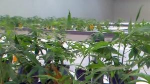 CTV Montreal: Cannabis merger