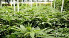 Cannabis company takes over Maple Leaf plant.