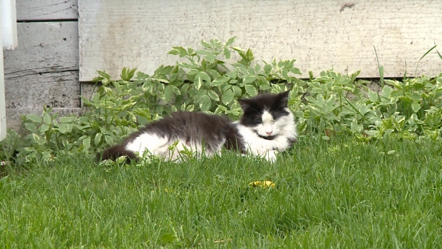 Stray cat relaxing on a lawn in Cornwall.
