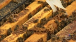 Bad year for bees shaping up in Manitoba