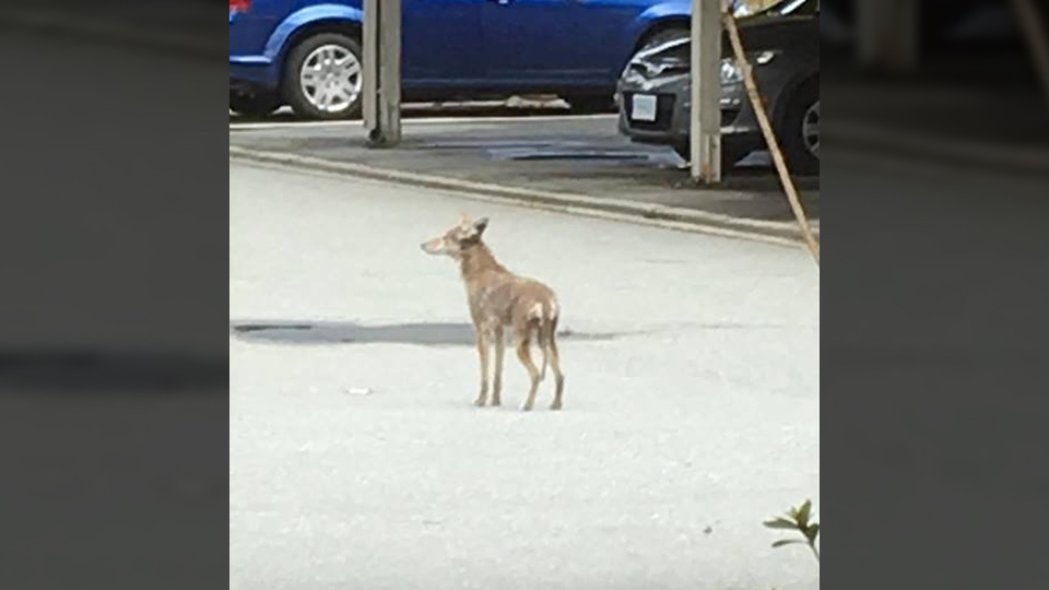 A coyote conservation officers believe attacked a young boy in Burnaby on Tuesday, May 15, 2018 is seen in this provided photo. (Facebook)