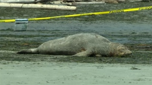 A moulting elephant seal returned to Victoria's Gonzales Beach Wednesday to continue the painful process of shedding its underlying layer of skin. May 16, 2018. (CTV Vancouver Island)