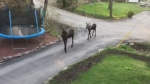 Caught on Camera: Moose stroll through Muskoka