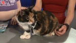 Pet of the Week: Daisie the Calico Cat