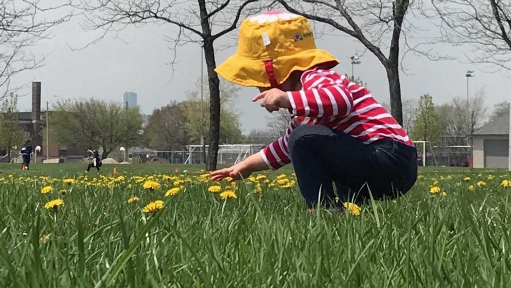 Windsor grass
