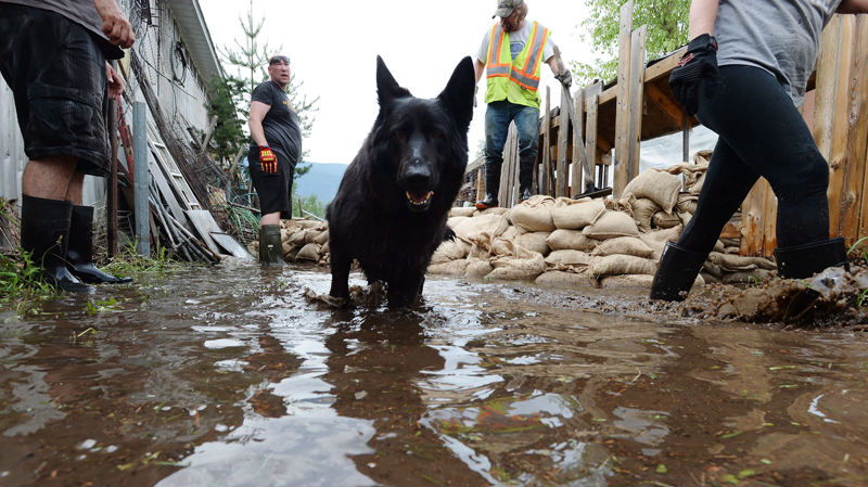 A dog walks in the water as people sandbag along the Kettle River in Grand Forks, B.C., on Thursday, May 17, 2018. (THE CANADIAN PRESS/Jonathan Hayward)